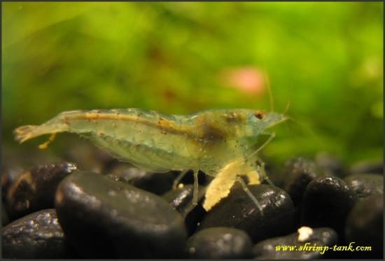 Shrimp-Tank.com Blue pearl shrimp is noticeable transparent
