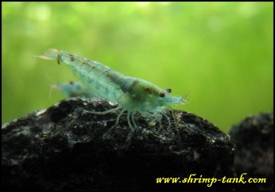 Shrimp-Tank.com Neocaridina cf. zhangjiajiensis var. blue shrimp