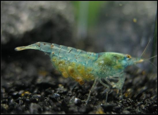 Shrimp-Tank.com Beatiful freshwater blue pearl shrimp