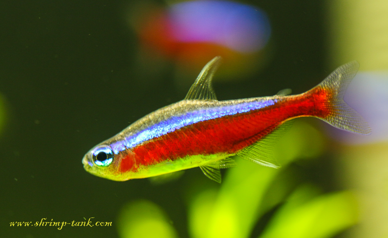 Cardinal Tetra Fish Photos @ Shrimp Tank