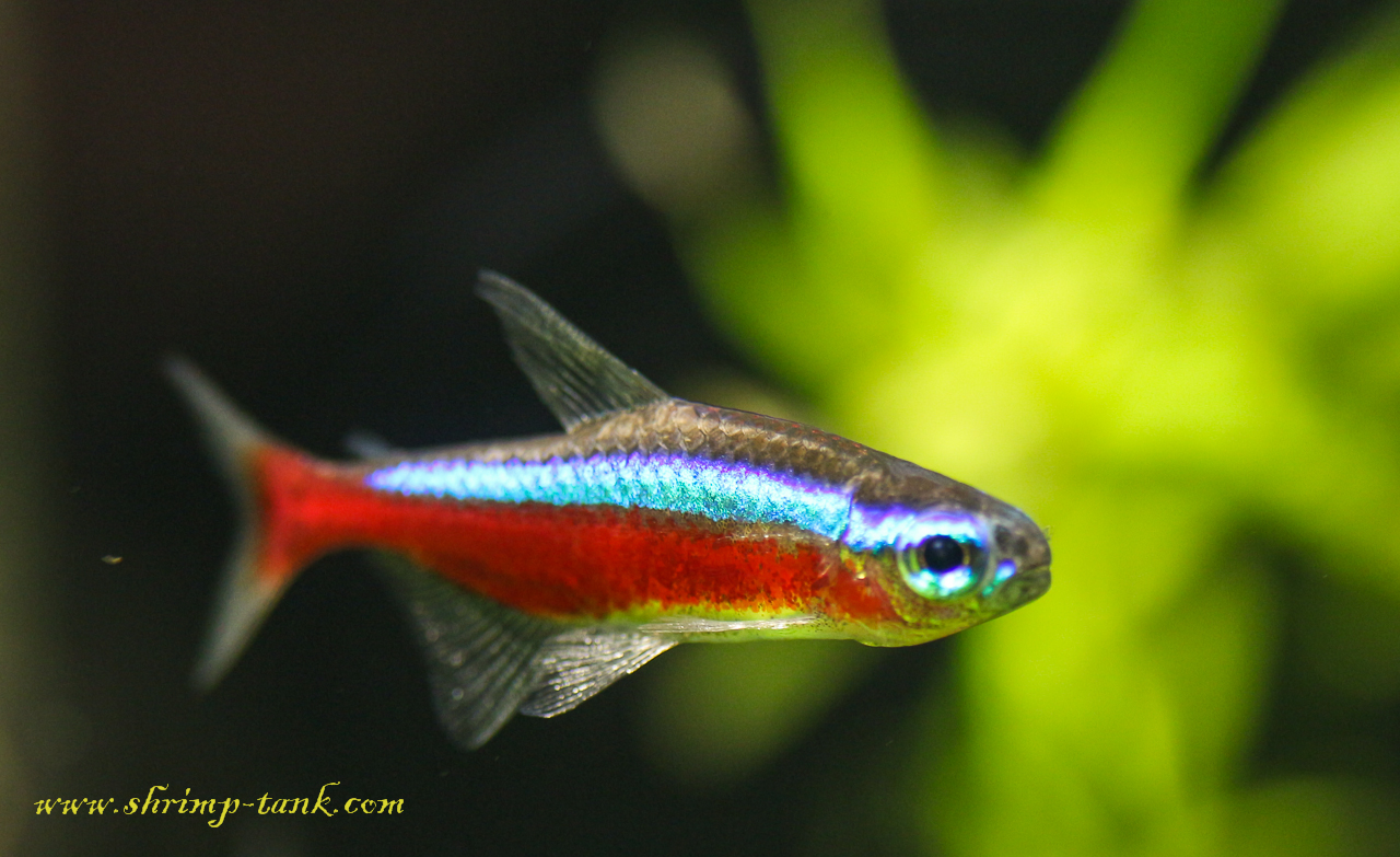 Cardinal tetra fish photos shrimp tank for Tetra acquario