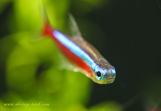 Cardinal Tetra Freshwater Fish