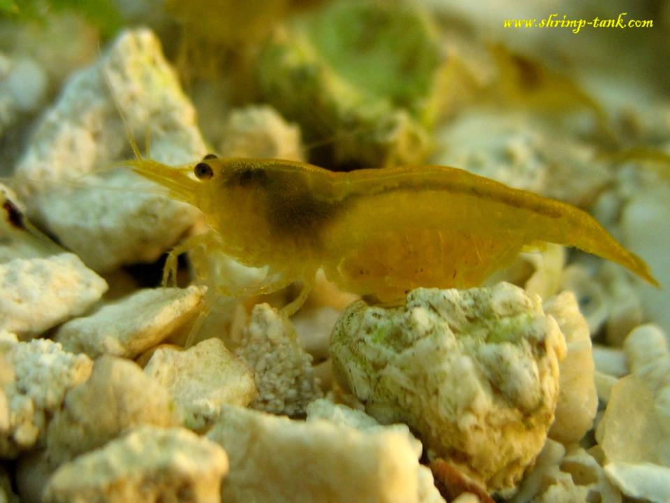 Golden Yellow Shrimps @ Shrimp Tank