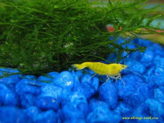 Shrimp-Tank.com Golden yellow neocaridina shrimp 10