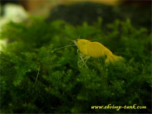 Shrimp-Tank.com Golden yellow neocaridina shrimp 11