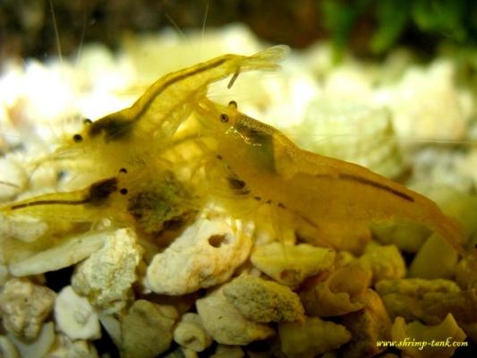 Shrimp-Tank.com Golden yellow neocaridina shrimp 12