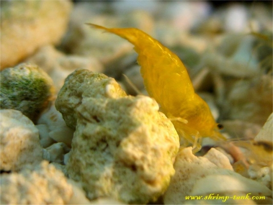 Shrimp-Tank.com Golden yellow neocaridina shrimp 13