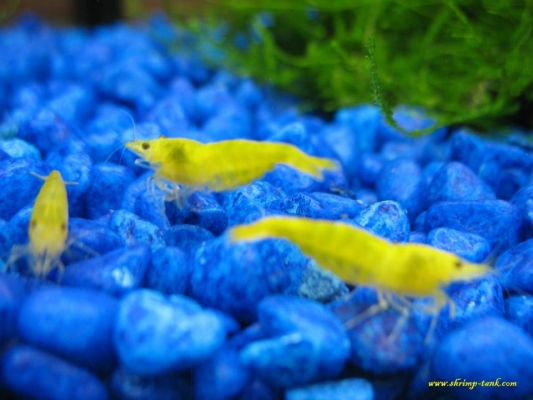 Shrimp-Tank.com Golden yellow neocaridina shrimp 14