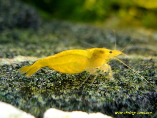 Shrimp-Tank.com Golden yellow neocaridina shrimp 22