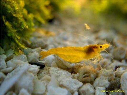Shrimp-Tank.com Golden yellow neocaridina shrimp 3