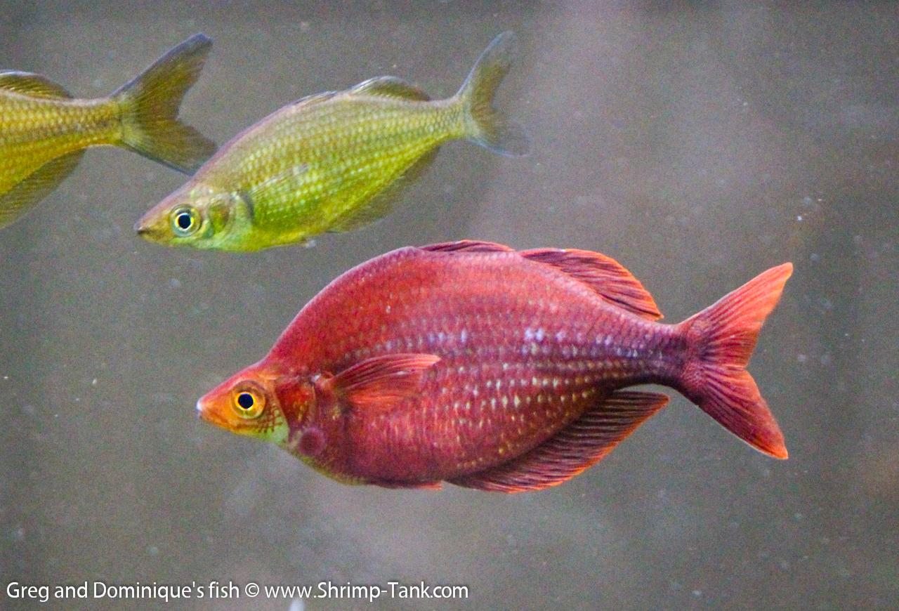 Amazing Fish from Greg and Dominique Aquariums @ Shrimp Tank