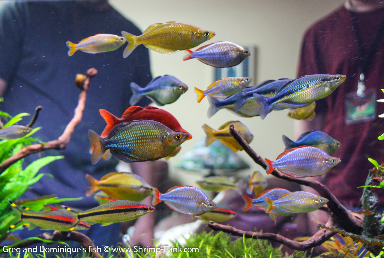 Amazing fish from greg and dominique aquariums shrimp tank for Tropical rainbow fish