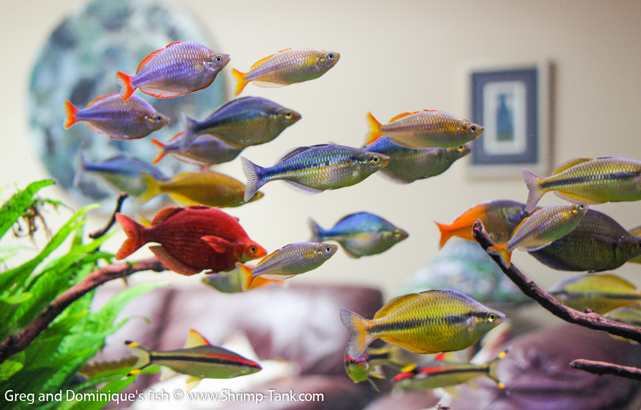 Fish for aquarium freshwater - Group Of Freshwater Rainbow Fish