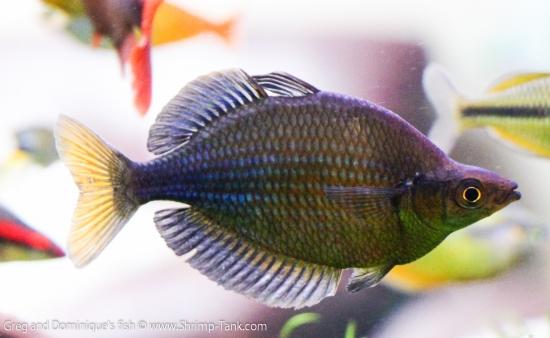 Freshwater Rainbow Fish