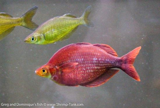 Glossolepis pseudoincisus, red rainbow fish