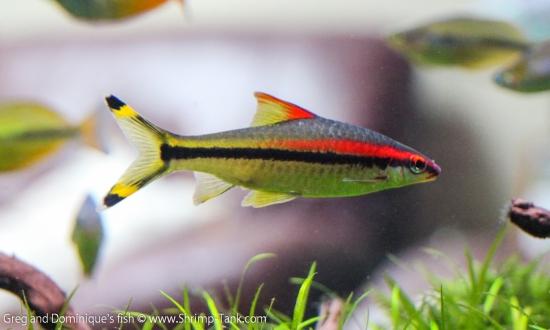 Puntius denisoni fish
