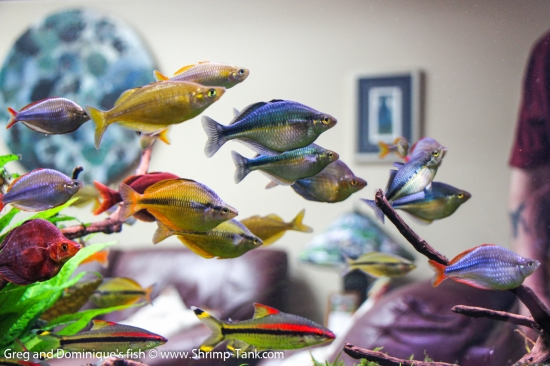 Group of Freshwater Rainbow fish