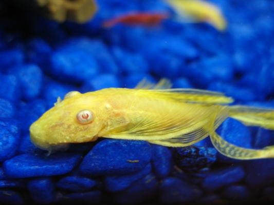 young longfin albino bristlenose pleco close up