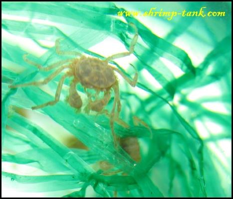 microcrabs-in-freshwater-aquarium