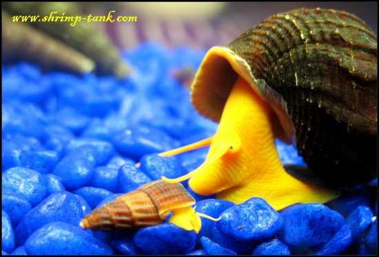 These snails breed very slowly and produce only one baby at a time ...