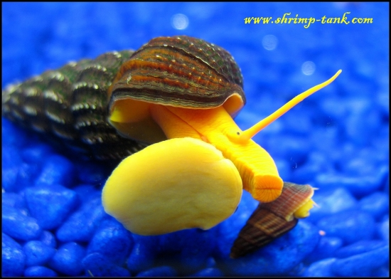 orange? snails are also called orange rabbit or elephant poso snails ...