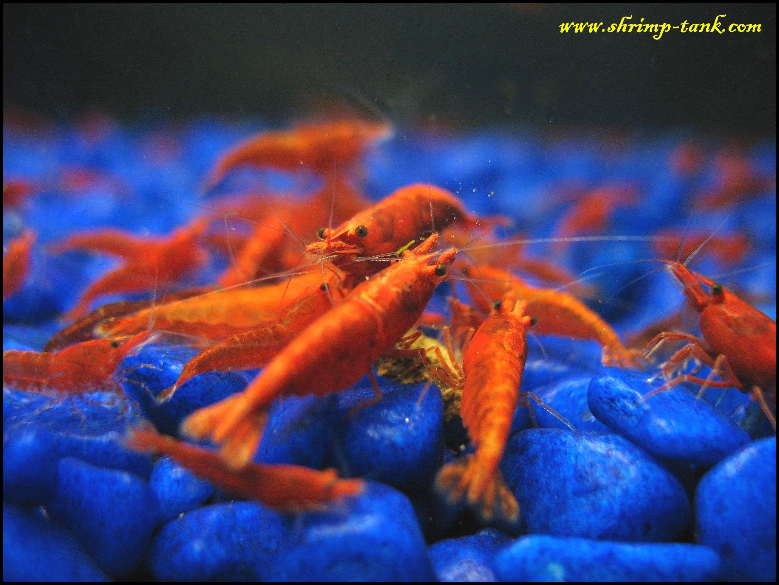 Painted Fire Red shrimps photos @ Shrimp Tank