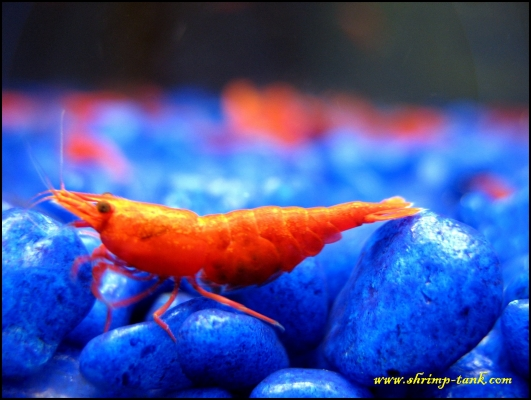 Shrimp-Tank.com Pregnant painted fire red shrimp dwarf freshwater shrimps