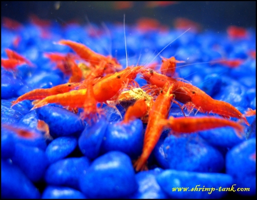 Shrimp-Tank.com Group of painted fire red shrimp