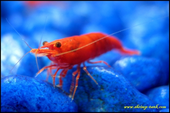 Shrimp-Tank.com Painted fire red shrimp looks at you