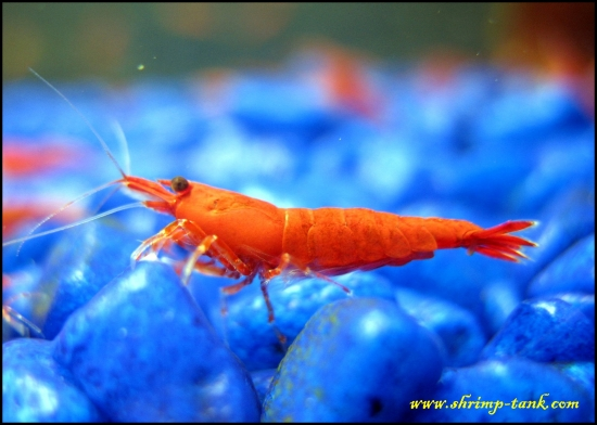 Shrimp-Tank.com Young painted fire red shrimp