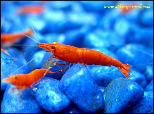 Shrimp-Tank.com Young Neocaridina heteropoda var.