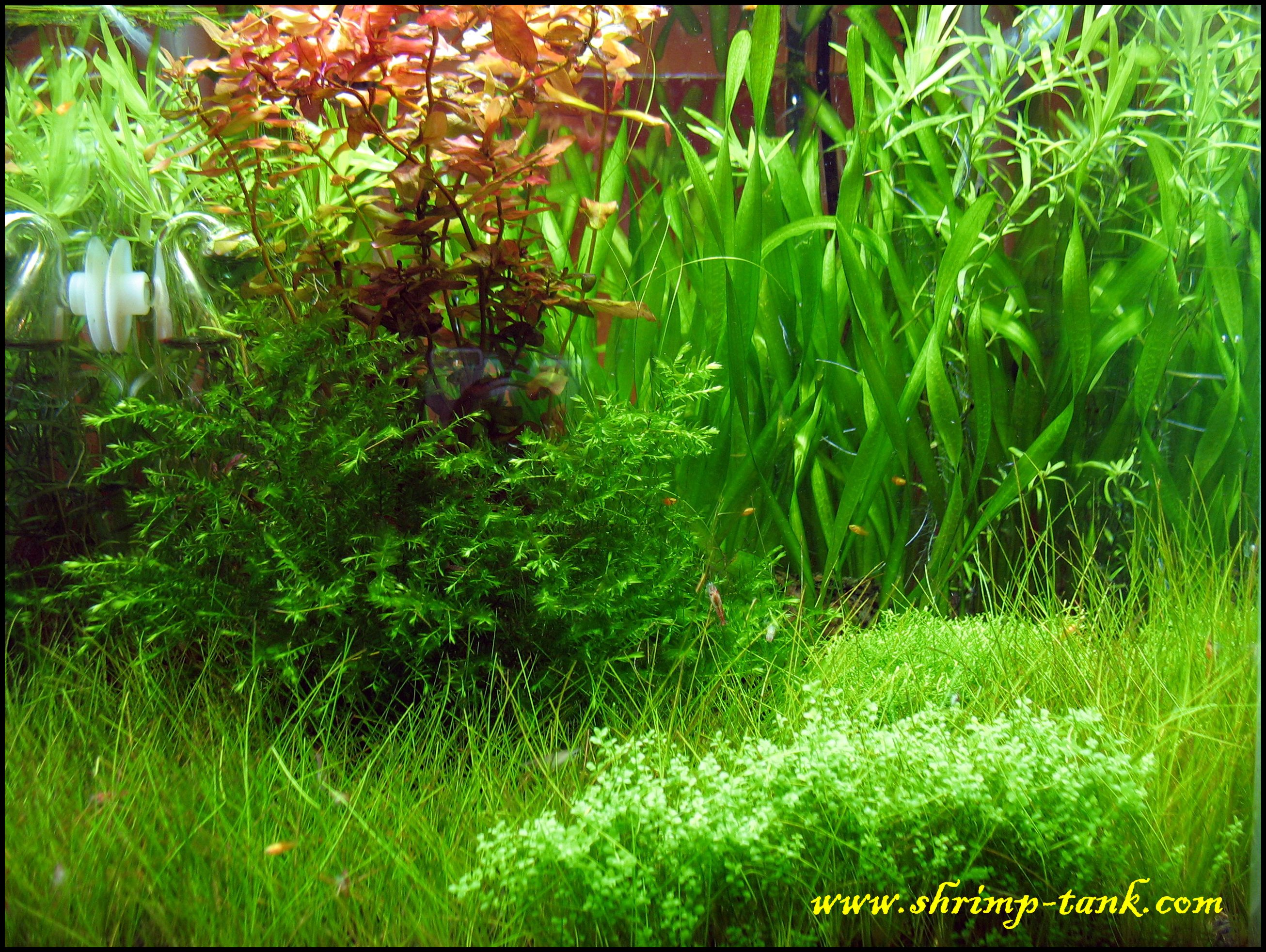 Shrimp cube pictures shrimp tank for Plante aquarium