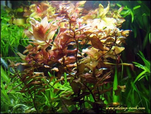 shrimp-tank-shrimp-cube-rotala