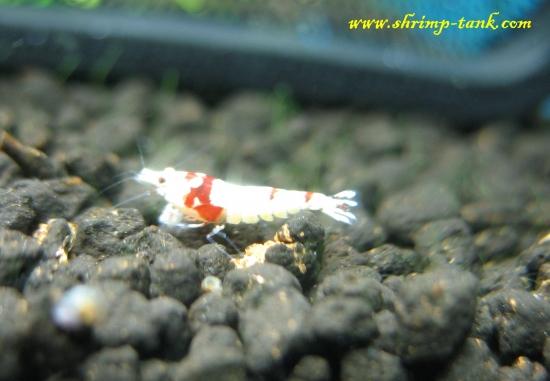 Shrimp-Tank.com Young SS+ Crystal Red shrimp
