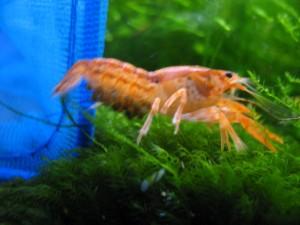 Pregnant Mexican Orange Dwarf crayfish (CPO)