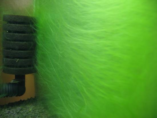 Algae planted tank. Fluffy wall