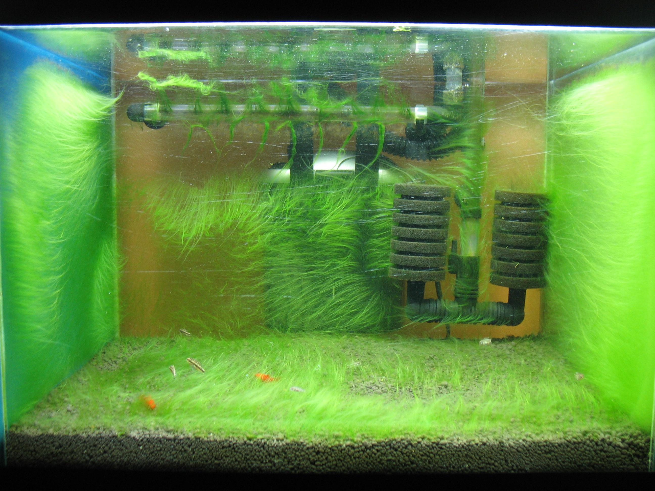 The planted tank. Algae version :) @ Shrimp Tank