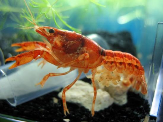 Cambarellus patzcuarensis var. orange crayfish is giving birth