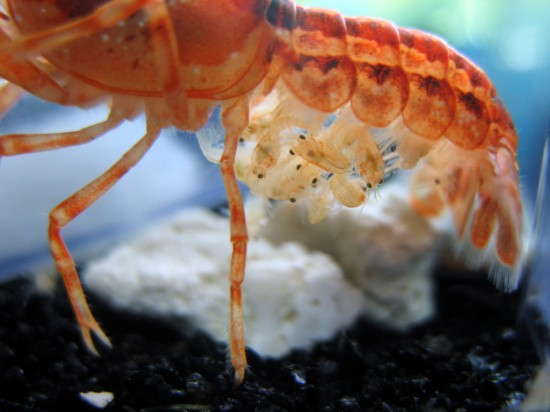 CPO small crayfish on their mother