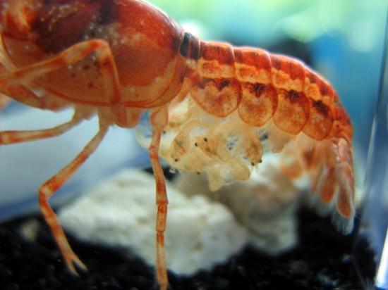 Mexican dwarf orange crayfish babies on her mother