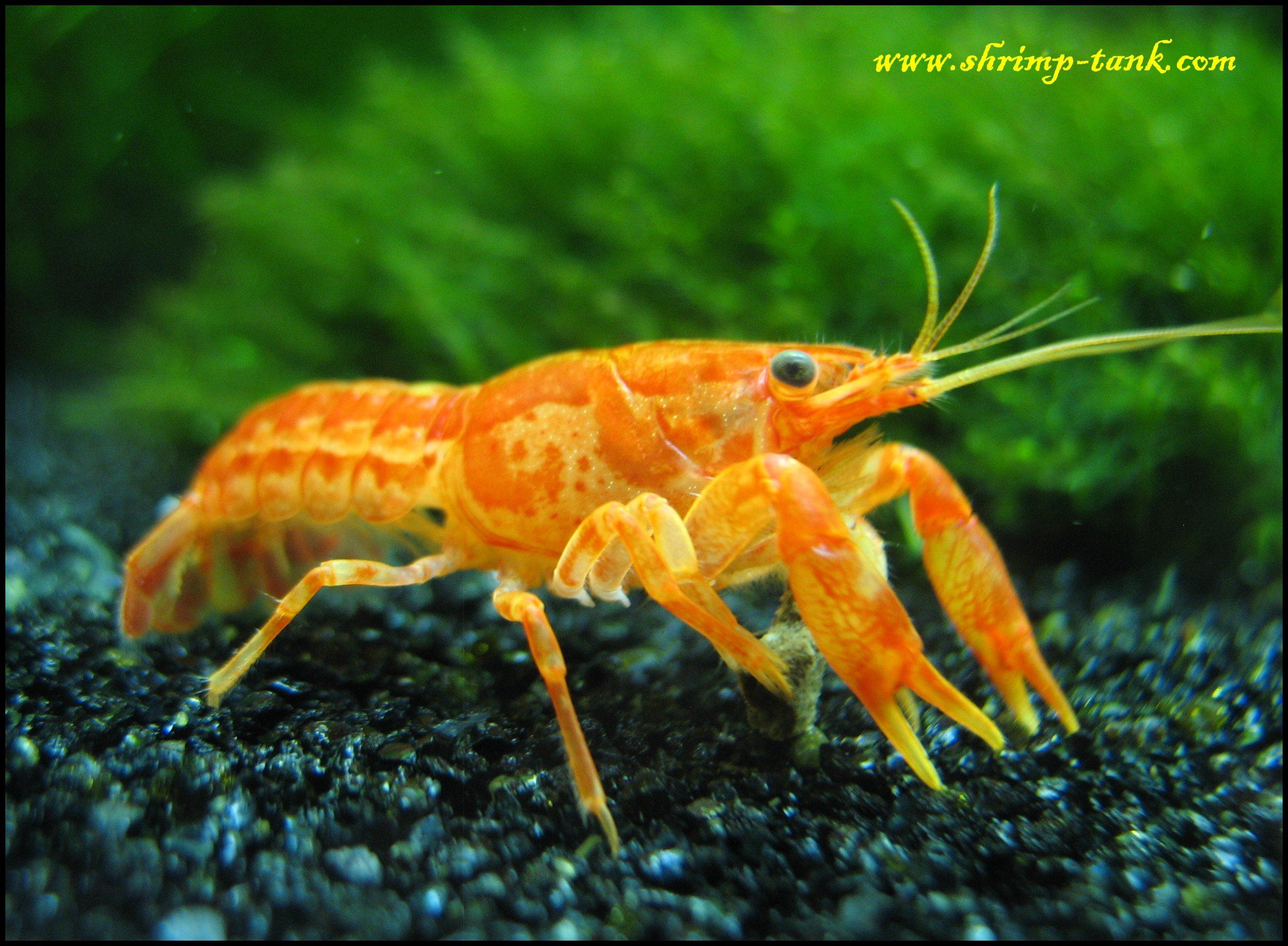 Green babaulti shrimps are eating a fancy shrimp food