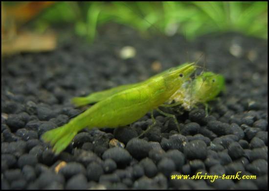 Green babaulti shrimp shows its saddle