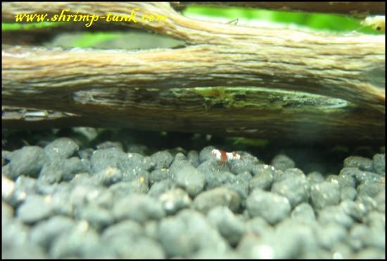 Crystal red shrimplet