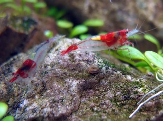 Shrimp-Tank. Red Rili Shrimp