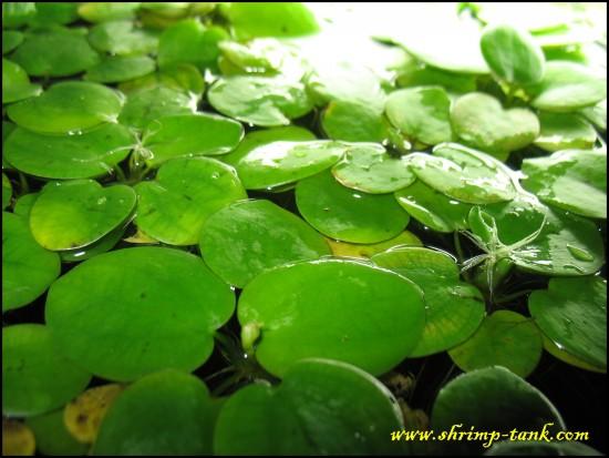 Free Amazon Frogbit Floating Plant Shrimp Tank