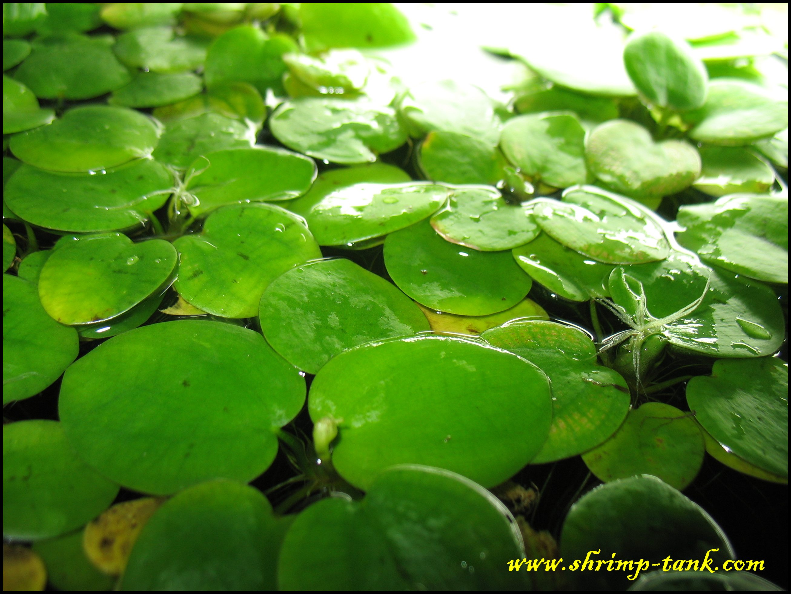 Free Amazon Frogbit Floating Plant Shrimp Tank