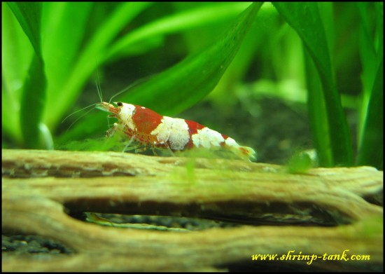 Crystal red shrimp eats green algae