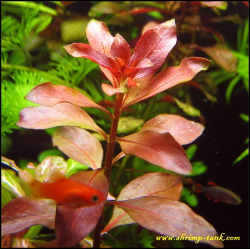ludwigia repens rubin shrimp tank. Black Bedroom Furniture Sets. Home Design Ideas
