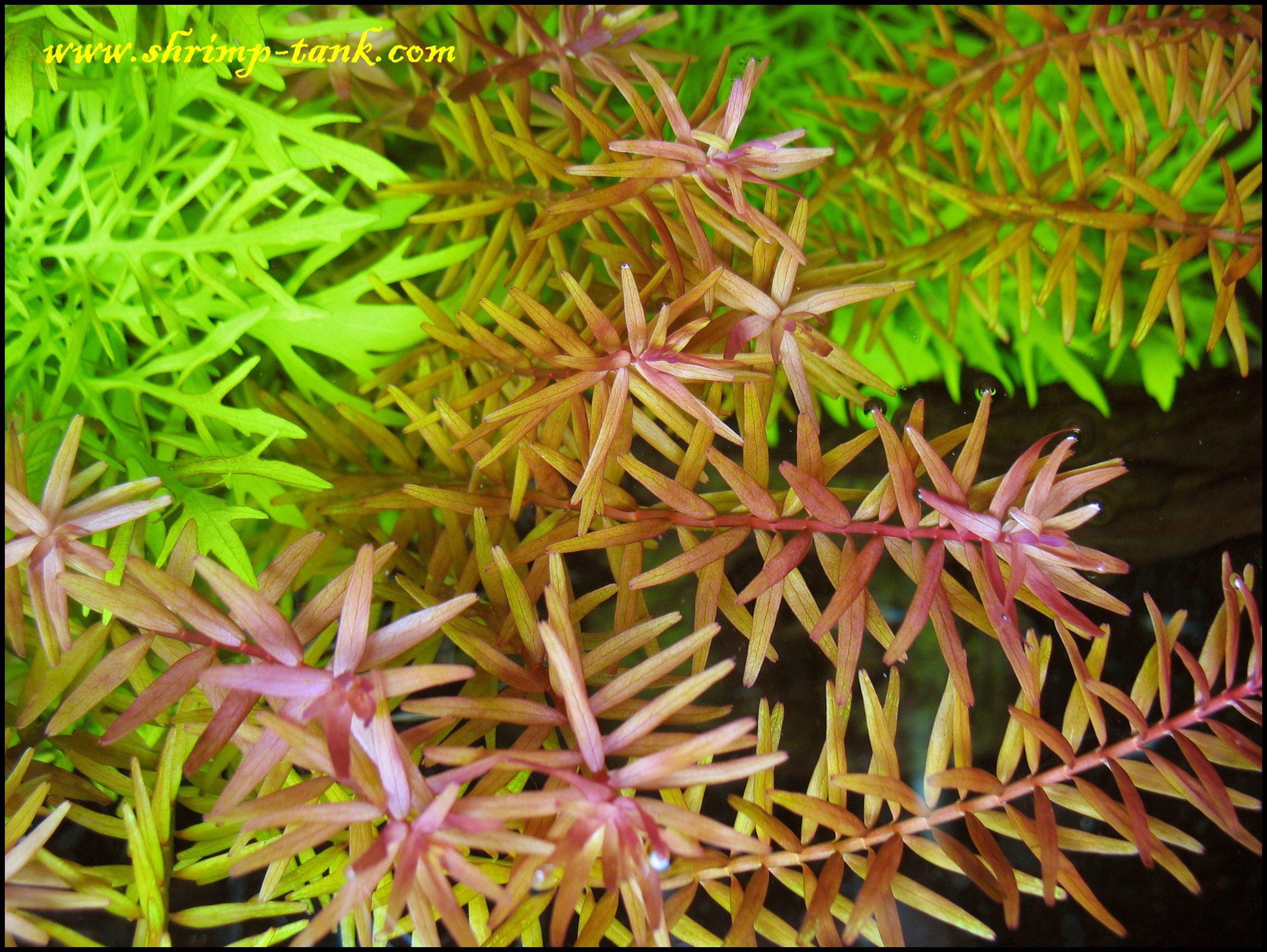 Rotala sp. Rotundifolia. Some more photos or a red plant @ Shrimp Tank