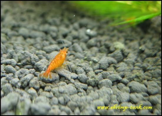 Shrimp-tank. Neoracidina heteropoda var orange